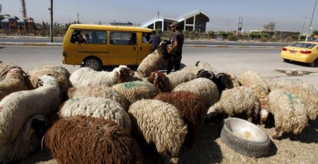 Sheep Images Of Eid Al Adha